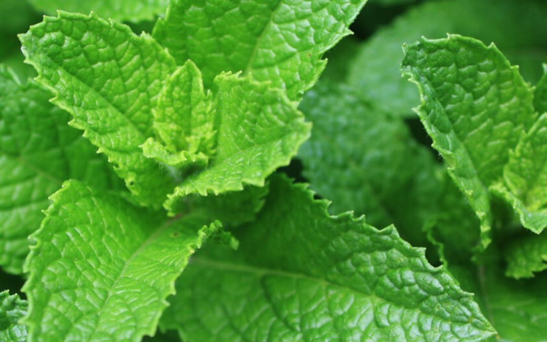 The History Of Spearmint Oil